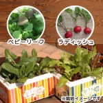 夏休みの宿題に野菜栽培キット